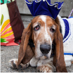 Celebrate Woodinville Crown dog